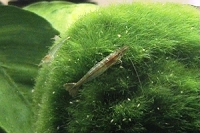 Green Babaulti (Dwarf Shrimp)