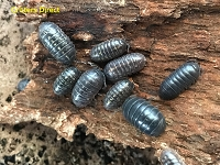 Gray Isopods (Roly-Polies/Pillbugs)